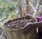 El 27 de enero las familias desplazadas de la Colonia Puebla anunciaron que se quedan 10 días más a la cosecha de su café en...